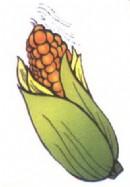玉米简笔画图片大全
